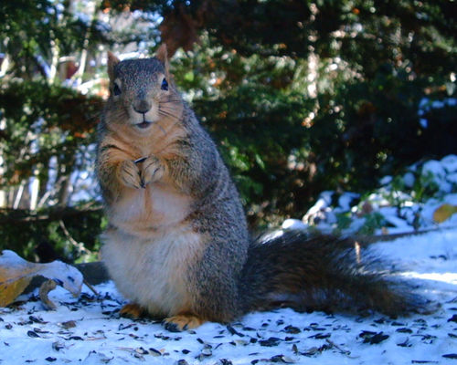Douglas Squirrel Tamiasciurus douglasii (12) crop