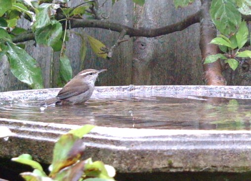 Bewicks_wren_in_the_water