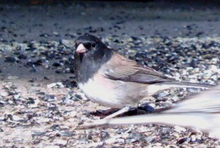 Darkeyed_junco_2