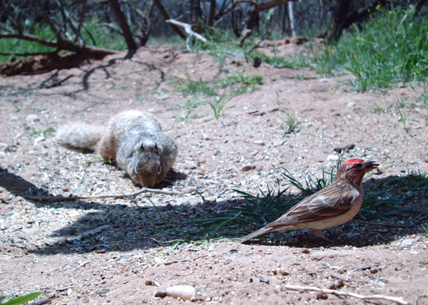 Cassins_finch_and_rock_squirrel_1_v