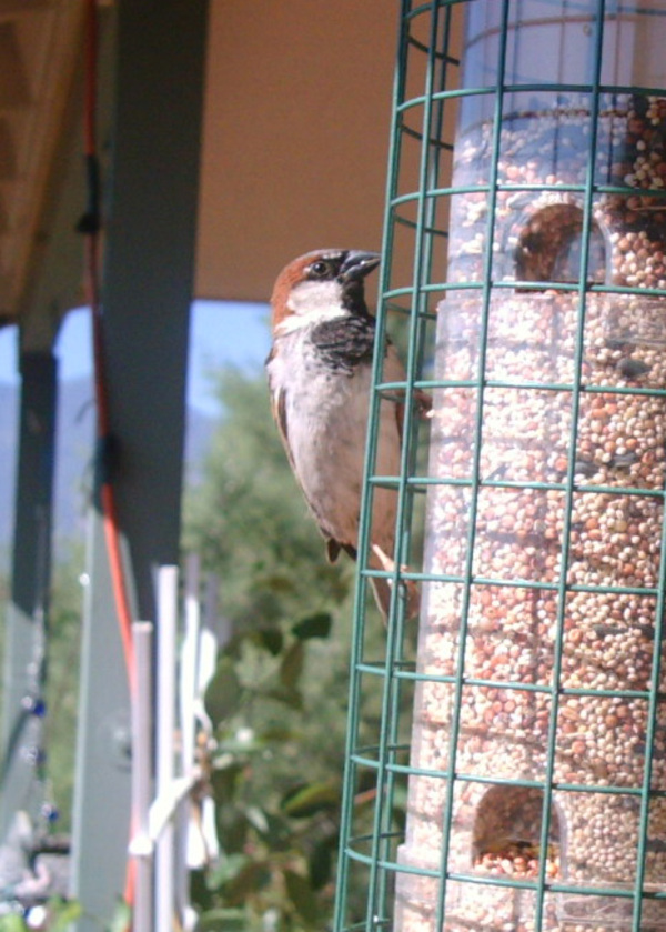 House_sparrow_1_verde_valley_2008_c