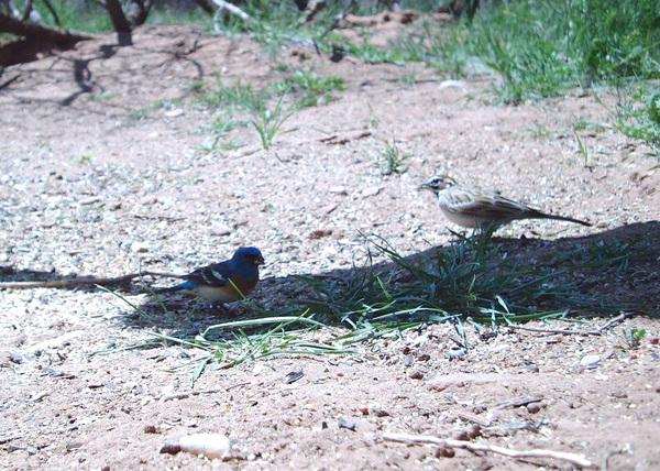 Lark_sparrow_and_lazulia_bunting_2_