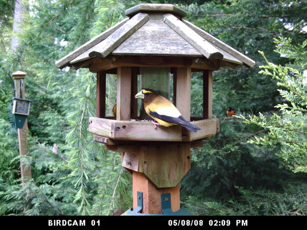 Evening_grosbeak_050808_wingscapes_