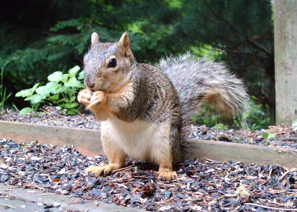 Douglas_squirrel_052108_cropped