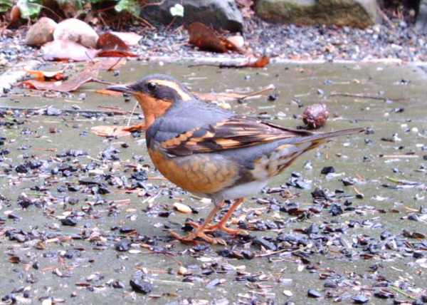 Varied_thrush_012008_wingscapes_cro