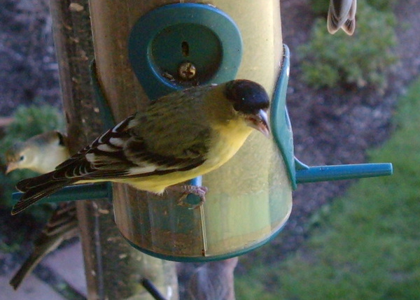 Lesser_goldfinch_at_thistle_feeder