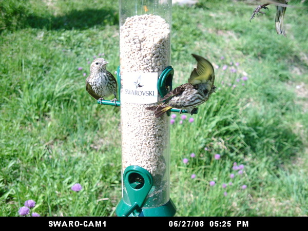 Pine_siskins_062708_aba_wingscapes