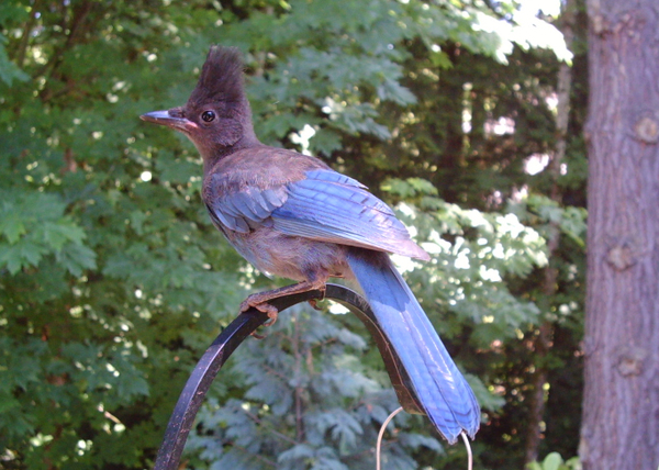 Stellers_jay_juv_061608_wingscapes_