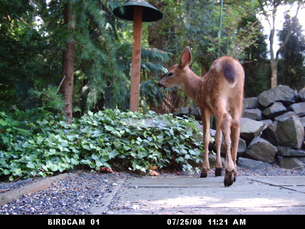 Black_tailed_deer_fawn_072508_ws