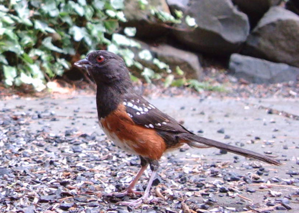 Western_spotted_towhee_081708_wings