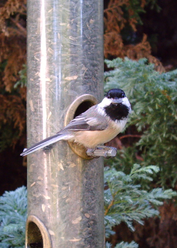 Black_capped_chickadee_090208_wings