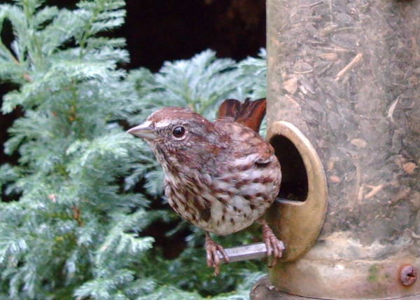 Song_sparrow_092108_wingscapes