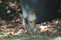 Musclesquirrel