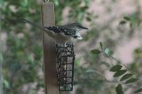 Windymockingbird